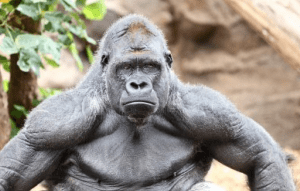 gorilla jpeg